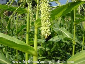 Blue orchard mason bees on corn