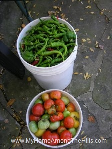 Tomato and pepper harvest