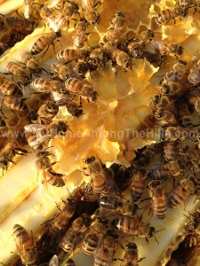 Bees eating honey from burr comb in the hive