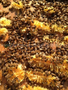 A bunch of bees on the hive lid