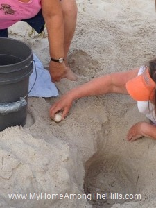 Moving loggerhead turtle eggs