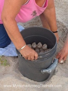 The loggerhead turtle eggs ready to be relocated