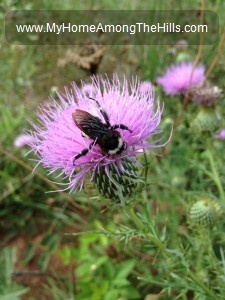 Bull thistle with a buble bee on it