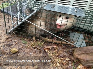 'possum caught in a trap