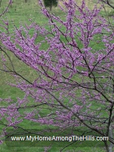 Redbud tree in the mountains