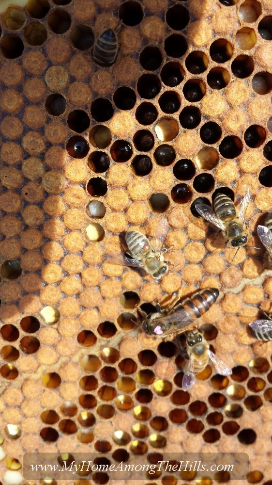 A queen bee and her attendants...with varroa mite