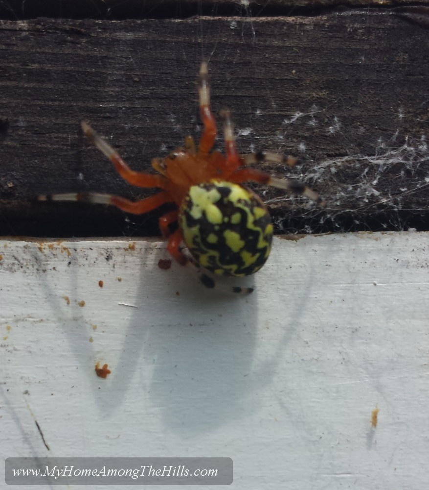 Marbled Orb Weaver spider around the hive