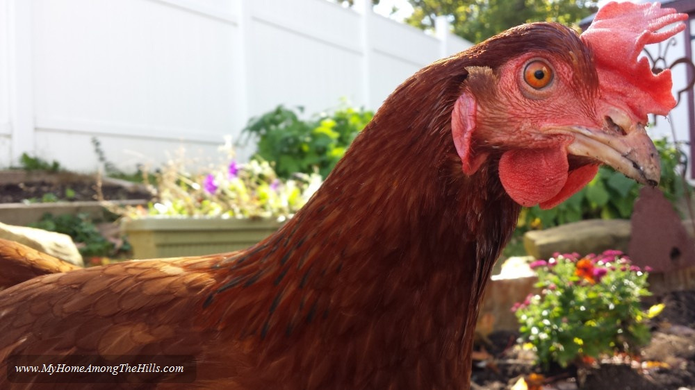 Our Rhode Island Red Hen